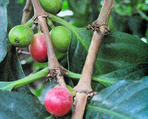 Koffiebonen aan de Koffie Plant